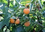 Asian persimmons ripen orange and have a cantaloupe-like flavor.