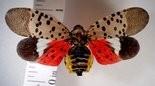 Spotted lanternflies are colorful, albeit destructive, bugs.