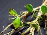 This spotting is an infection of boxwood blight attacking these boxwood leaves.