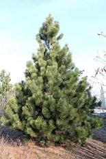 Bosnian pine is a good choice for an evergreen screen plant.