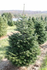 These young Nordmann firs are being grown for use as a Christmas tree, but they also make a handsome landscape screen plant.