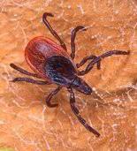 Blacklegged ticks often carry Lyme disease.