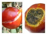 Water issues can lead to tomatoes that crack, left, or that develop blossom end rot, right.