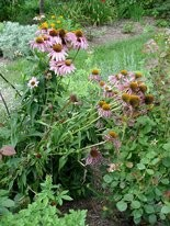 These tall coneflowers are flopping from the weight of the blooms.