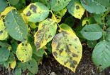 Diseased or discolored leaves can be picked or snipped off.