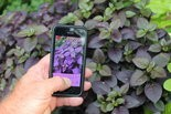 The PlantSnap app attempts to ID plants with the snap of a smartphone photo.
