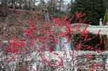 Winterberry hollies drop their leaves in winter but hang onto the bright red pea-sized fruits until winter's end.