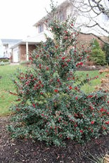 This Red Beauty holly is looking in top form even though this picture is from New Year's Day.