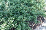 Japanese hollies closely resemble boxwoods.