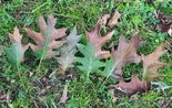 This is what wilt-infected oak leaves look like.