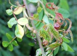 Gnarly, stunted growth and excess thorns are telltale signs of rose rosette disease.