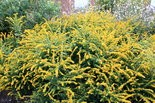 """""""Nativars"""" like this 'Golden Fleece' goldenrod are usually as attractive to pollinators as wild forms of the same plant, new Delaware research shows."""