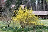 A good cue on when to put down weed preventers is when forsythias are in full bloom.