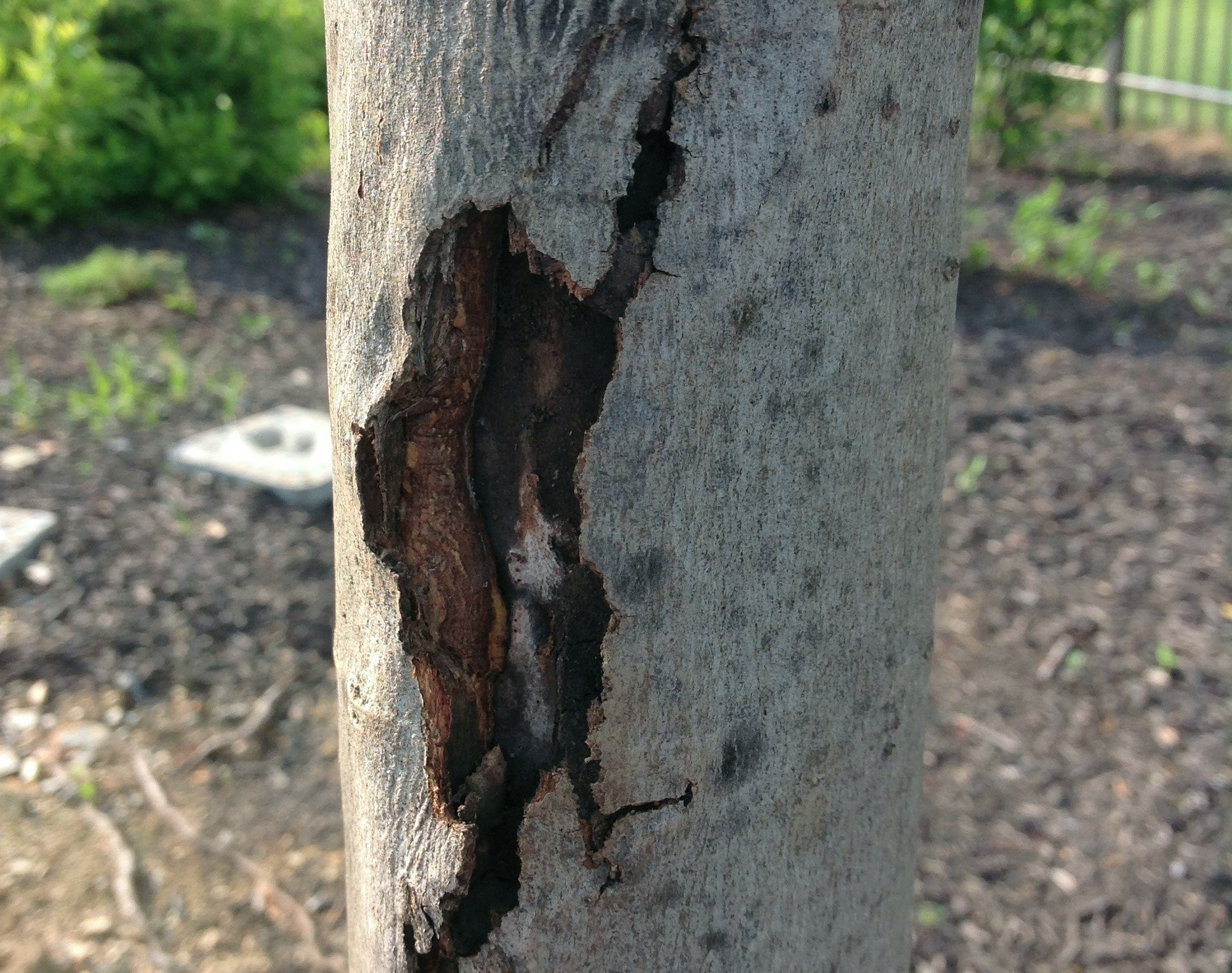 Maple Tree Has Bark That S Split Apart Gardening Q A With George Weigel Pennlive Com