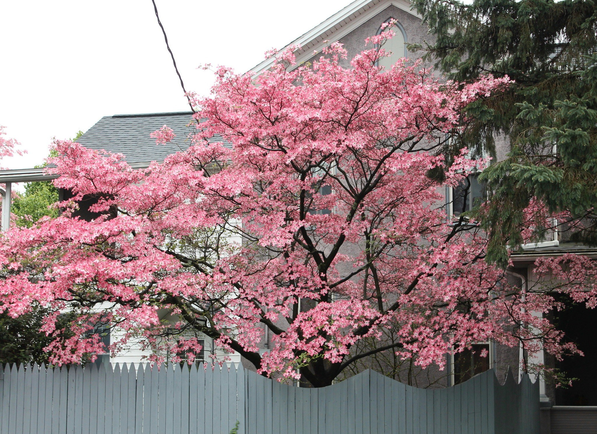 The Dogwood With The Stunning Pink Flowers George S Plant Pick Of