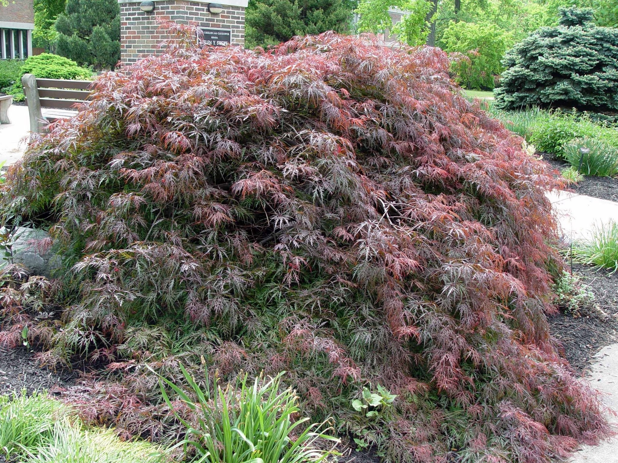 How Can I Start A New Weeping Japanese Maple Tree Gardening Q A
