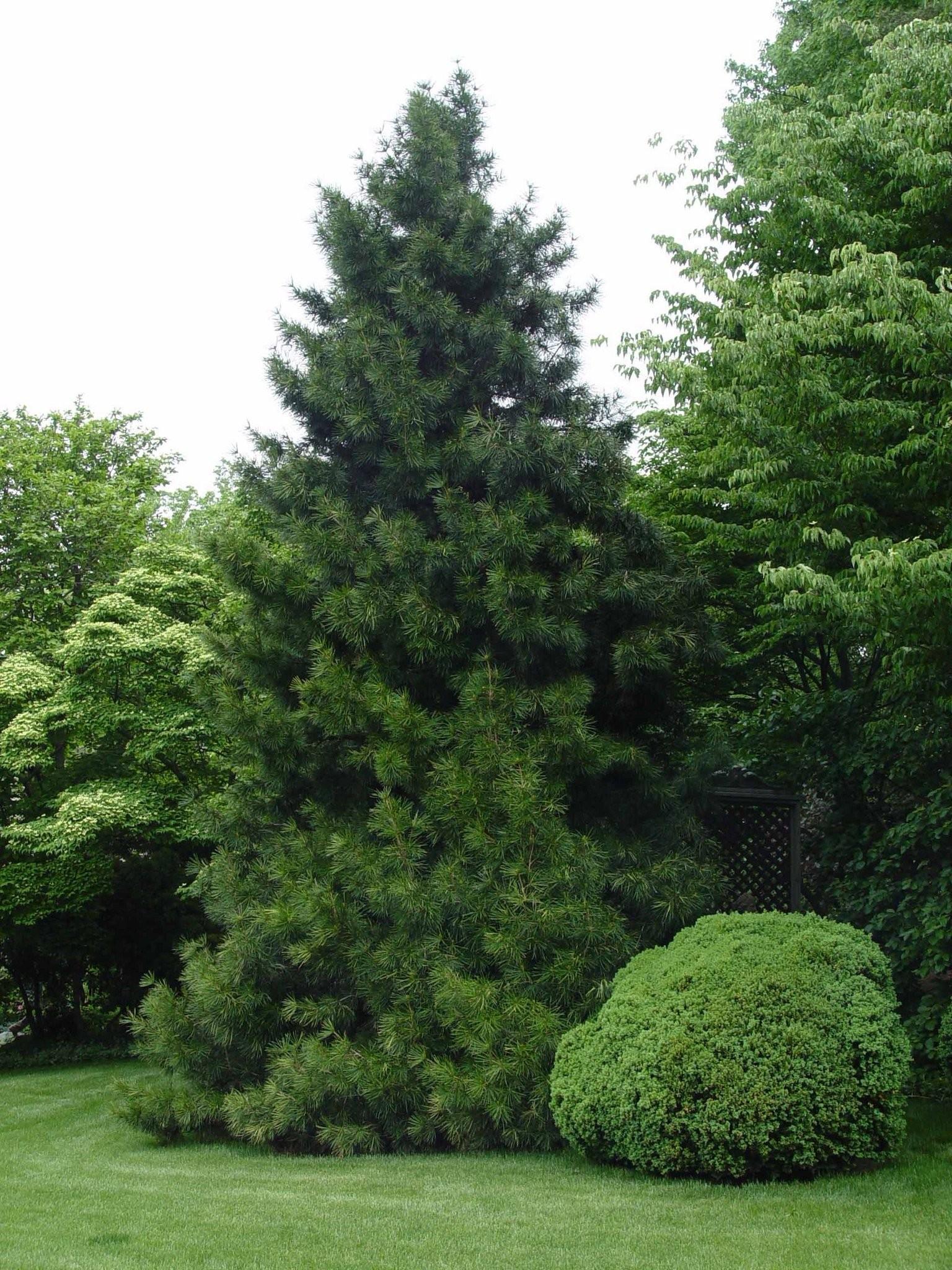 Are Japanese Umbrella Pines Deer Resistant Pennlive Com