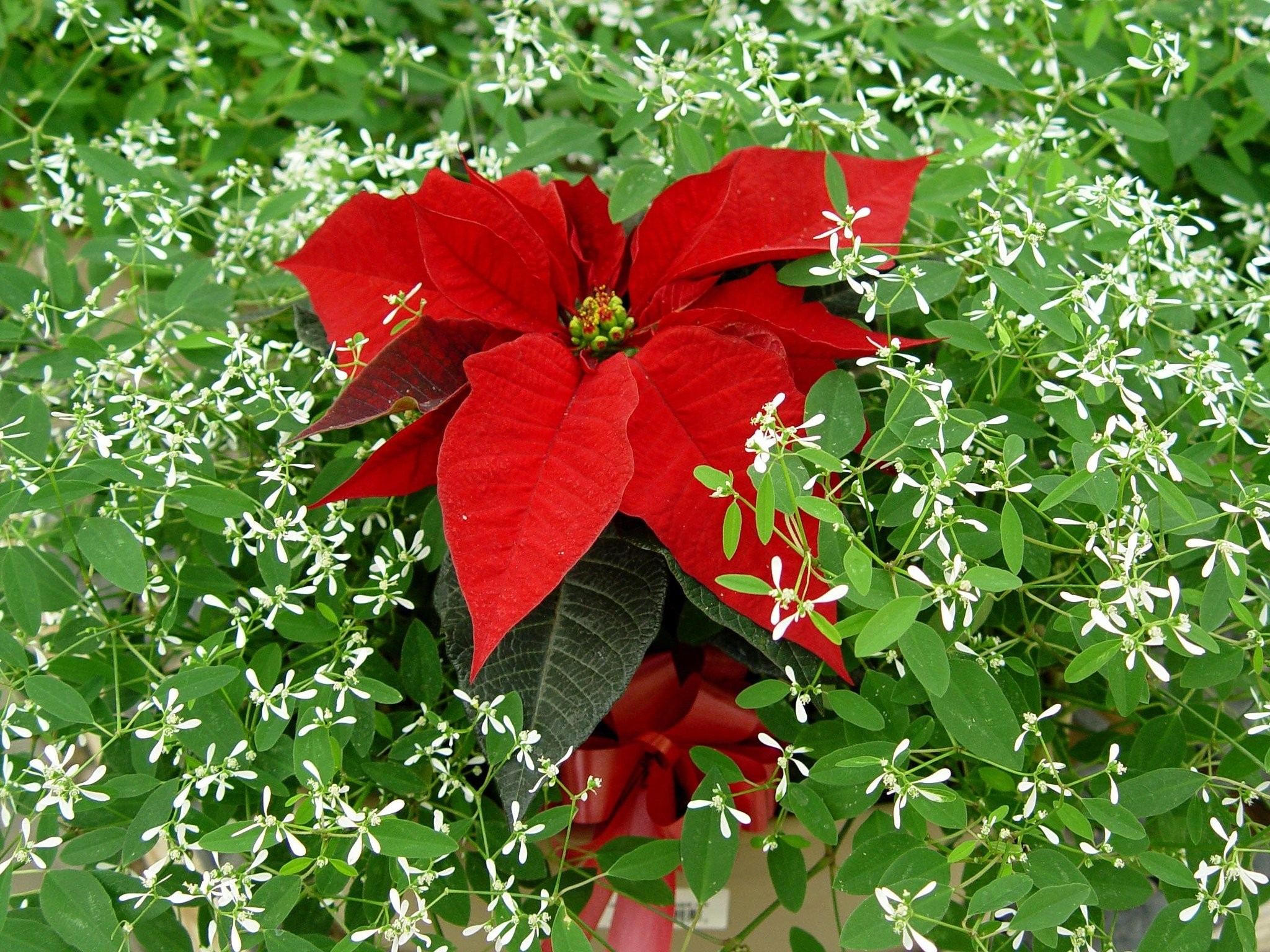 Five Ways To Milk Every Last Penny Out Of Your Poinsettia