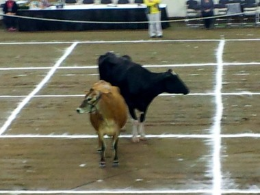 The two cows at Cow Patty Bingo at the 97th Pennsylvania Farm Show.
