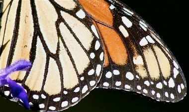 """Flight of the Butterflies 3D"" follows the annual, multi-generational migration of Monarch butterflies."