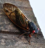 What an adult periodical cicada looks like. Check out the orange eyes.