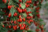 Goji berry Sweet Lifeberry