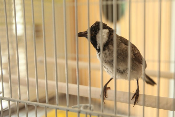 The Bulbul bird is a symbol of Iraqi radio, with Radio Baghdad beginning everyday with the sound of its call. This Bulbul is named Bahjat, after Bahjat Abdulwahed, the Walter Cronkite of Iraq. Julia Hatmaker | jhatmaker@pennlive.com