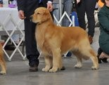 Hobie, a Golden retriever owned by Dave and Sandi Christenson of Dillsburg, will be competing at Westminster Kennel Club Show.