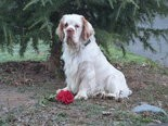 Desmond, a Clumber Spaniel of Lisa Chiado of Mechanicsburg, will be competing at Westminster Kennel Club Show.