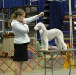 Morgan Miller of New Bloomfield will be showing Roadie, a Bedlington terrior, in the junior competition at the Westminster Kennel Club Show.