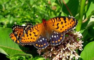 The regal fritillary butterfly.