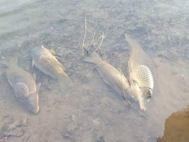 Jim Hurd, who lives just minutes away from the York County power plant at Brunner Island along the Susquehanna River took this photo of dead fish in the water on Sunday.