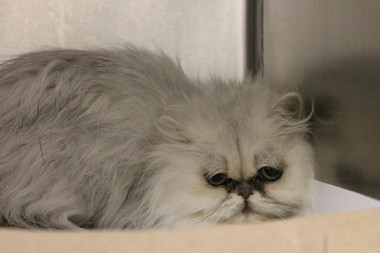 SPCA seizes 19 Persian cats from Philly breeder - pennlive com