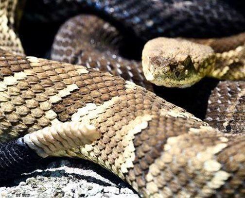 Pennsylvania snake-hunting season almost here: 15 things you