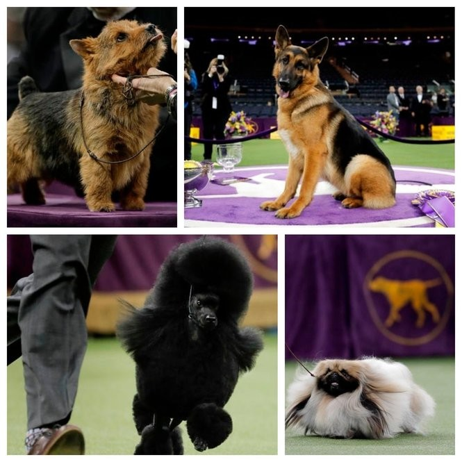 2f235e03 Hundreds of dogs compete at Westminster every year. These dogs made it in  2017 to the final best in show ring, from which Rumor, the German Shepherd  at top ...