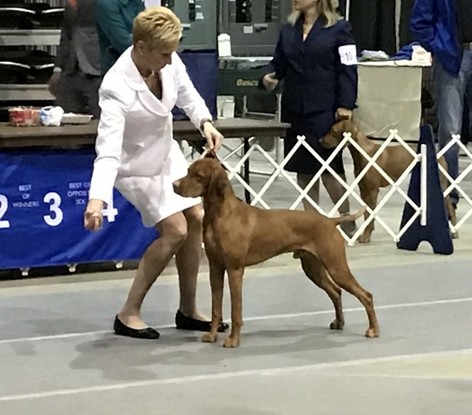 524512e9 Fraser is an almost 3-year old Vizsla, who is owned and bred by Melissa and  Jason Green of Annville. Fraser is a third generation Westminster  competitor and ...