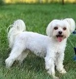 Jupiter, a 9-year-old Maltese, spent the first three years of his life in a puppy mill.