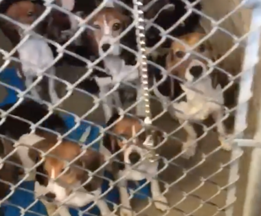 This still taken from a Facebook video shows rescued beagles at the Lehigh County Humane Society