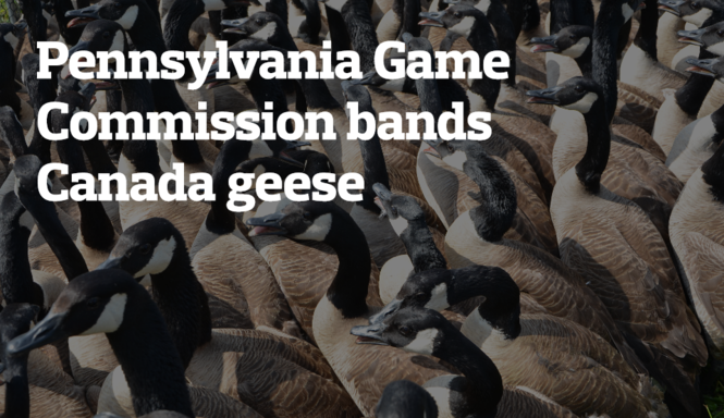Leg banding Canada geese with the Pennsylvania Game
