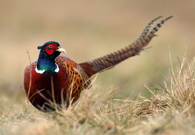 Pheasant hunting in Pennsylvania: A shadow of peak times