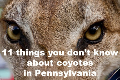 11 things you don't know about coyotes in Pennsylvania, from