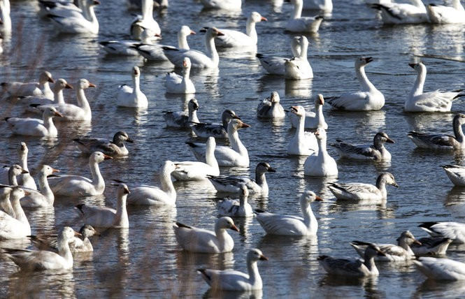 15 things you may not know about snow geese - pennlive com