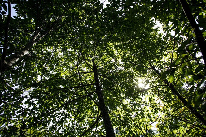 Chestnut trees grow in an orchard outside Penn State in Centre County.