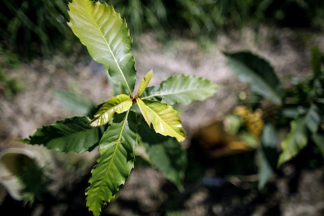 A juvenile American chestnut tree growing at the chestnut research orchard in the Arboretum at Penn State University, September 11, 2017.