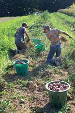 RAISING SPUDS -- FFA students pick potatoes at a Perry County farm. The county's FFA alumni are sponsoring a Farm to Fork dinner Oct. 1.