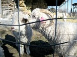 GOAT GROWTH -- An Angora goat buck (right) nuzzles a doe on the Pure American Naturals farm in Liverpool Twp. The company is planning to grow in 2017, including several jobs and a targeted marketing campaign.