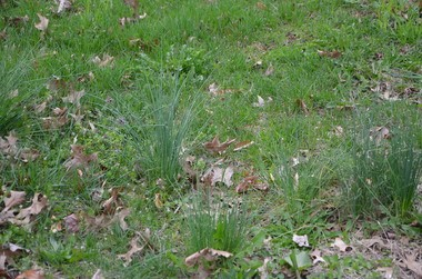 Most lawns, and nearly all wild spaces, across Pennsylvania sport plenty of clumps of wild onion and wild garlic.
