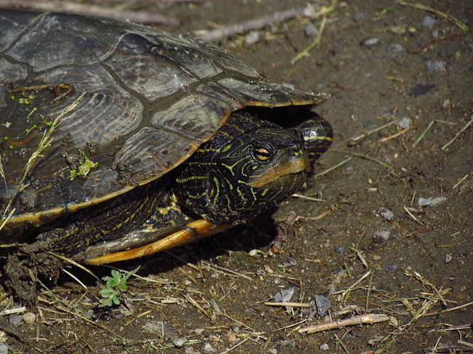 Turtles of Pennsylvania: Maybe 14 species, at least 1