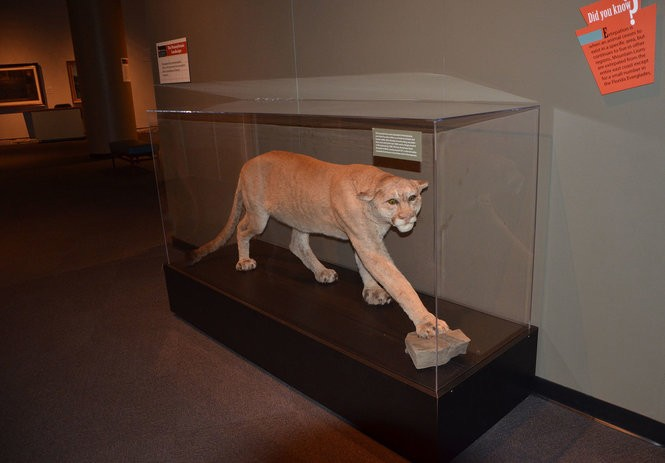 The last native mountain lion known to be killed in Pennsylvania is on display in the State Museum of Pennsylvania in Harrisburg.