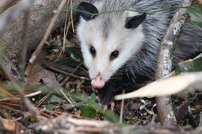 14 things you don't know about the opossum - pennlive com